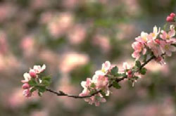 permaculture - cherry blossoms