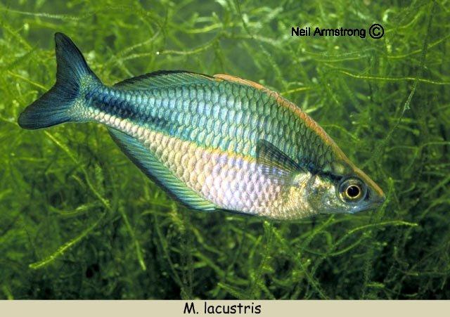 Fish of the day lake kutubu rainbowfish youtube for Turquoise rainbow fish