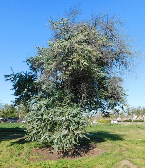 Baily Acacia Golden Mimosa Acacia Baileyana California State