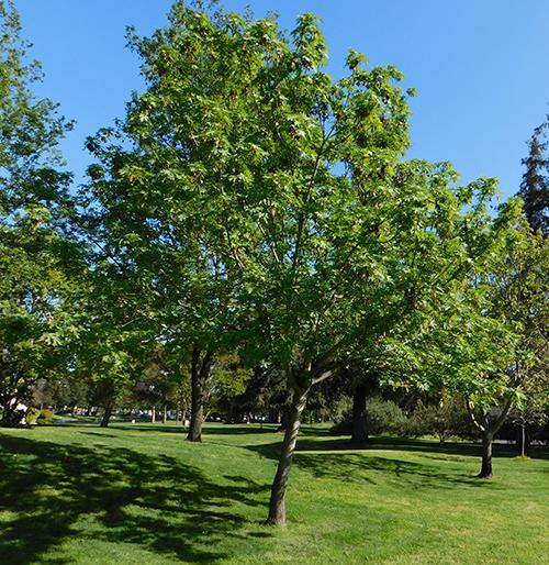 Bigleaf Maple Acer Macrophyllum California State University