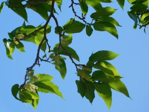 Hängender Maulbeerbaum - Morus alba Pendula - Maulbeere