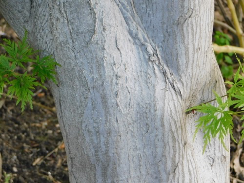 Japanese Maple Tamukeyama Acer Palmatum Var Dissectum