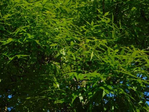 Raywood Ash Fraxinus Angustifolia Raywood California