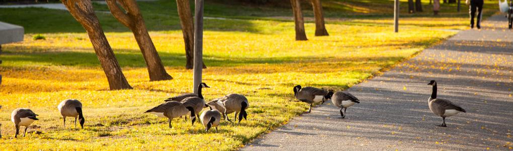 Geese flock near grass.