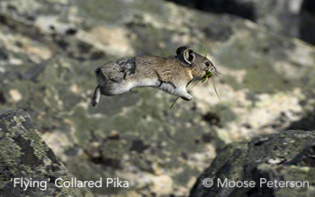 'Flying' Collared Pika