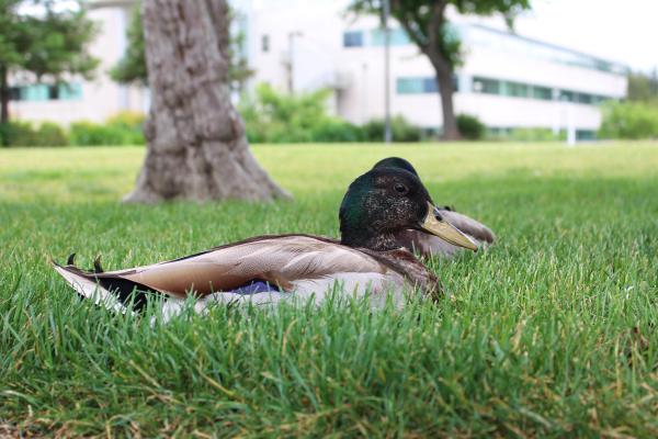 Ducks sitting on a lawn