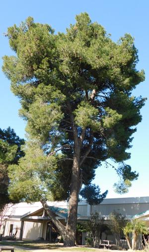 Aleppo Tree
