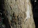 Bloodgood sycamore bark