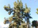 canary island pine