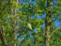 common hackberry leaves