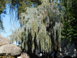 drooping juniper'