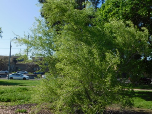 gooddings willow