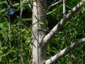 gooddings willow bark