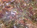 purple leaf plum 'Krauter Vesuvius'