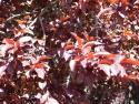 """Purple leaf plum """"Thundercloud"""""""