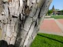 scarlet hawthorn bark