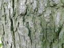 silver maple bark.