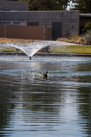 Duck swimming in Willow Lake